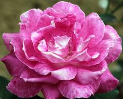 Mottled pink! (Renuka Marshall) Tags: pink flower petals blossom bloom srilanka hennysgardens