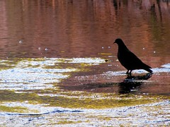 Pigeon Portrait in the Mill Stream (Under the same moon...) Tags: portrait mill silhouette colorful stream pigeon newhampshire artsy
