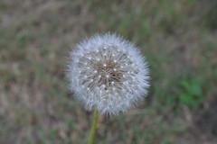 I wish...(original) (Sweet_Tea315) Tags: flower whimsy dandelion depthoffield p3 cameraoriginal