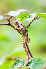 _MG_0454 (Den Boma Files) Tags: fauna dieren kikker amfibieen stropersbos