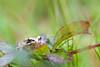 _MG_0371 (Den Boma Files) Tags: fauna dieren kikker amfibieen stropersbos