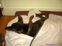 Getting Colder, but the Dobie is warm. (kmkruswick) Tags: fife doberman dobie