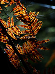 Lake Matheson walk (Paula McManus) Tags: light newzealand nature leaf foxglacier southisland backlit lakematheson silverfern goldenlight southwestland paulamcmanus olympuspenepl1