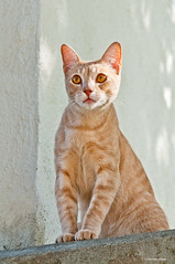A regal pose (Photosuze) Tags: cats pets animals golden amber sitting kitty posing felines striped regal ambereyes