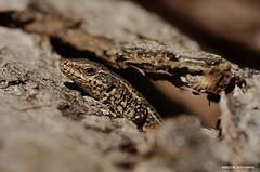 La mirada..................................... (anpegom) Tags: macro galicia galiza lagarto reptil anpegom