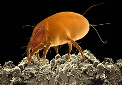 Dust Mite (FEI Company) Tags: fei microscopy magnification nanotechnology electronmicroscope nanoimage feicompany microscopyimage quantafamily feiimagecontest