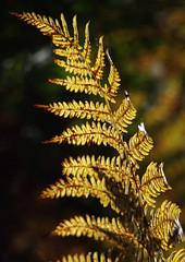 JMH_5097 (joannehedger) Tags: park autumn fern stag deer bracken reddeer vascular richmondpark pteridium dennstaedtiaceae joannehedgerrichmond httpjoannehedgerblogspotcouk