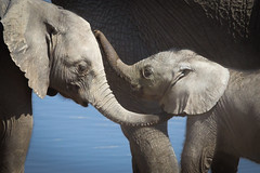 Loving elephants (richardkt4545) Tags: wildlife nature bird couple desert desertbird etosha namibia africa afrika animal outdoor feather giraffe elephant sociable weaver hut sunset savannah tin roof thorn acacia nest baby