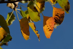 Seasons (Goruna) Tags: leaves tree summer autumn herbst sommer goruna