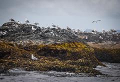 Waiting (kimbar/Thanks for 2.5 million views!) Tags: alaska bay birds island seagulls