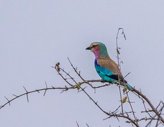 Lilac-Breasted Roller-151015_9990 (C&P_Pics) Tags: kruger lilacbreastedroller pgc rollers satara skukuzacamp southafrica2015 krugerpark mpumalanga southafrica za