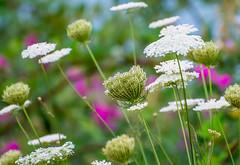 Open Field. (Omygodtom) Tags: wow nikon nikkor flower flickr wildflower outdoors sunny summer existinglight natural d7100 nikon70300mmvrlens leica sweet