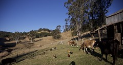cows and chickens (cskk) Tags: cows dairy susan grumpy flossie florence gracie jersey cow heifer chickens hens currawong farm nsw australia