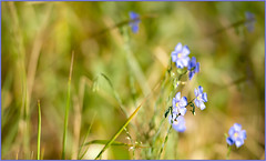 Flax Forever Blue (Karen McQuilkin) Tags: blue flax wilds wyoming flowers karenmcquilkin