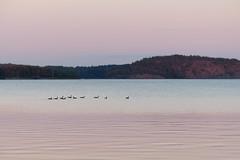 Vacker augustikvll (evisdotter) Tags: evening kvll sunsetlight kanadagss canadagoose birds fglar slemmern mariehamn sooc