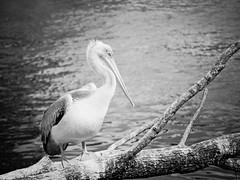 Palmipde (steph20_2) Tags: oiseau panasonic lumix gh3 100300 monochrome monochrom noir noiretblanc ngc blanc black bw white skanchelli