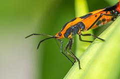 Milkweed Bug (PhillymanPete) Tags: milkweedbug summer macro nature bug palmyracovenaturepark insect orange leaf palmyra newjersey unitedstates us nikon d7200