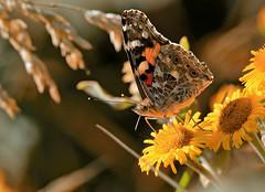 PAINTED LADY SIDE (gazza294) Tags: butterfly flicker flickr flckr flkr gazza294 garymargetts