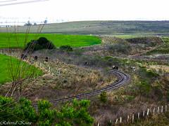 Cows, railroad and wheat. (robervalkoura) Tags: pampa rio grande do sul
