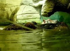 Baby Hippo (BrigitteE1) Tags: babyhippo babynilpferd pumeza cherry erlebniszoohannover hanover deutschland germany flusspferd nilpferd hippopotamusamphibius vu gefhrdet tier animal sugetier mammal zoo babyflusspferd