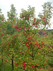 DSCN0379 (mavnjess) Tags: 1 may 2016 cripps pink lady apples orchard red black white bw sacha cin lucinda giblett cooking hibiscus compost composting compostbays chestnuts chestnut tree train carriages rainbow trolley bus trolleybus carriage