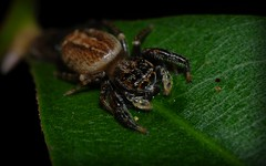Pungalina sp. (dustaway) Tags: arthropoda arachnida araneae araneomorphae salticidae pungalina jumpingspiders australianspiders rotarypark rainforest lismore nsw au northernrivers nature natur rprr