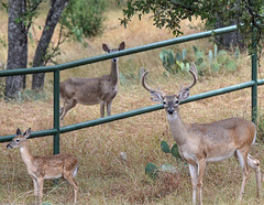 Happy Fence Friday (Bandera Texas) (Aliparis) Tags: buck doe deer texas nature fencefriday fence naturallight nikon nikond750 28300lens 2016 family