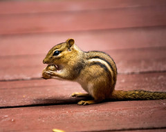 Chipmunk eating a peanut (DDB Photography) Tags: chipmunk animal wild wildlife nature outdoor outdoors rodent peanut nut eating mammal cute adorable sitting shy photography photographer ddbphotography ddbphotograhy
