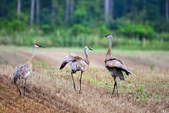 Sandhill Crane Trio (Buzz Hoffman) Tags: sandhillcrane crane bird field minnesota chisagocounty