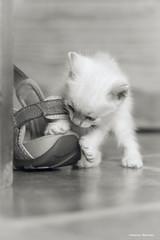 Casiopea & my sandal (leporcia) Tags: animales animals animalplanet cat cats chat chatterie gatos gato gatto gatito katze katzen kitty kitten felino feline blackandwhite blancoynegro monocromo