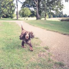 Jasper (johnlgardiner) Tags: lightroom spaniel cocker dog animal