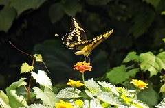 Swallowtail Beauty (BlueisCoool) Tags: flickr foto photo image capture picture photography nikon coolpic l330 nature orange summer color colorful bright vivid beautiful butterfly insect swallowtail outdoor outdoors flower wildflower florida swallowtailbutterfly largoflorida