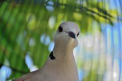 Toutoune (Mystycat =^..^=) Tags: tourterelle oiseau turtledove bird