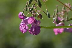 ckuchem-7979 (christine_kuchem) Tags: bach blte springkraut ufer wildpflanze drsiges gewsser nichtheimisch rosa