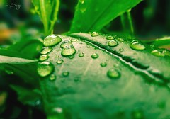 Green Leaf   with some tiny and just awesome raindrops on it! (Leitratista) Tags: green nature raindrops drops waterdrops leaf leaves