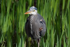 Great Blue Heron (careth@2012) Tags: