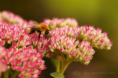The Bee & The Sedum! (Jay Bees Pics ~ Away for a few days!) Tags: bee commoncarderbee bumblebee insect sedum succulentplant garden latesummer calver derbyshire england 2016 macro ngc npc magicunicornverybest coth