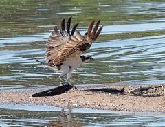 Osprey (Boulder Flying Circus Birders) Tags: osprey pandionhaliaetus ospreycolorado ospreyboulder wildbirdboulder wildbirdcolorado wildbirdcompany formerwildbirdcenter birdseed birdwalk baselinereservoir kevinrutherford fernlakephotography