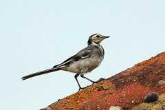 Pied Wagtail (juvenile) (NickWakeling) Tags: piedwagtail wagtail horsey norfolk nature birds wildlife sigma150600mmf563dgoshsmcontemporary canon60d
