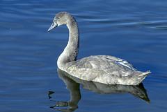 Grey (Michael John Corcoran) Tags: swan birds cygnet wild water nikon80200mmedd nikond7100