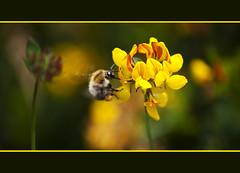 Bokeh Wednesday - Busy Bee Edition  EXPLORED (Paul J Chapman Photography) Tags: hbw bokehwednesday