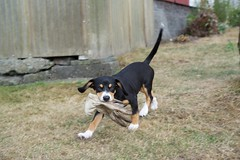 Sage (Thaddz) Tags: dog puppy sennenhund entlebucher entlebuchermountaindog