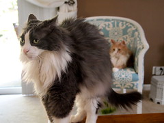 Punky and Nina (Raccoon Photo) Tags: pet cats pets silly cute cat fur fun nose happy cool nice eyes furry funny pretty sleep adorable ears sleepy kitties friendly purr paws cuties cateyes claws comfy fishy longhaired longhairedcat longhairedcats