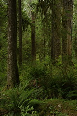 (Zebulon Dave) Tags: fern green forest washington moss rainforest olympicnationalpark conifer hohrainforest igp0024