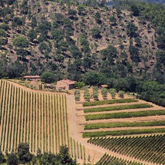 Chianti antique terraced hillsides covered with grapevines (Bn) Tags: red summer italy sun sunlight holiday colour green leaves florence topf50 cherries strada italia berries bright wine small grow dry visit hills vineyards tuscany grapes chianti fields strong farms wildflowers siena taste roads radda product toscane region plums fruity greve produced rubby vino flourish discover wijn bottling sangiovese cellars cultivated classico castellina hillsides harmonious 50faves