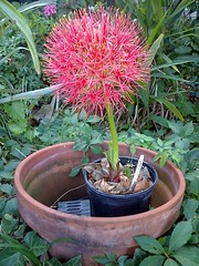 Blood Lily in Bloom (Scadoxus multiflorus) (Squash Goddess) Tags: flower lily bloodlily scadoxusmultiflorus