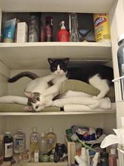 What? We're just wrestling in the linen closet. (rootcrop54) Tags: stuart idaho wrestling linencloset lowlight goofy cat cats kedi chat 猫 kočka kissa chatte γάτα macska köttur kucing gatto 고양이 kaķis katė katt kot gato pi-sică кошка mačka maček gorbe kass cc1000 cc7000