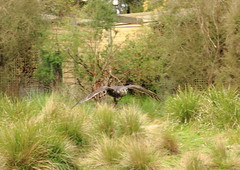 Barking Owl in flight, Healesville Sanctuary (G Bayliss) Tags: australia healesvillesanctuary victoria barkingowl ninoxconnivens