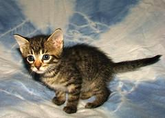 IMG_0411 (cretinbob) Tags: cats pussy kittens kitties