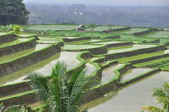 Rice fields in Bali.  Explore #1  09/09/2012 (marinfinito) Tags: bali indonesia asia country ricefields
